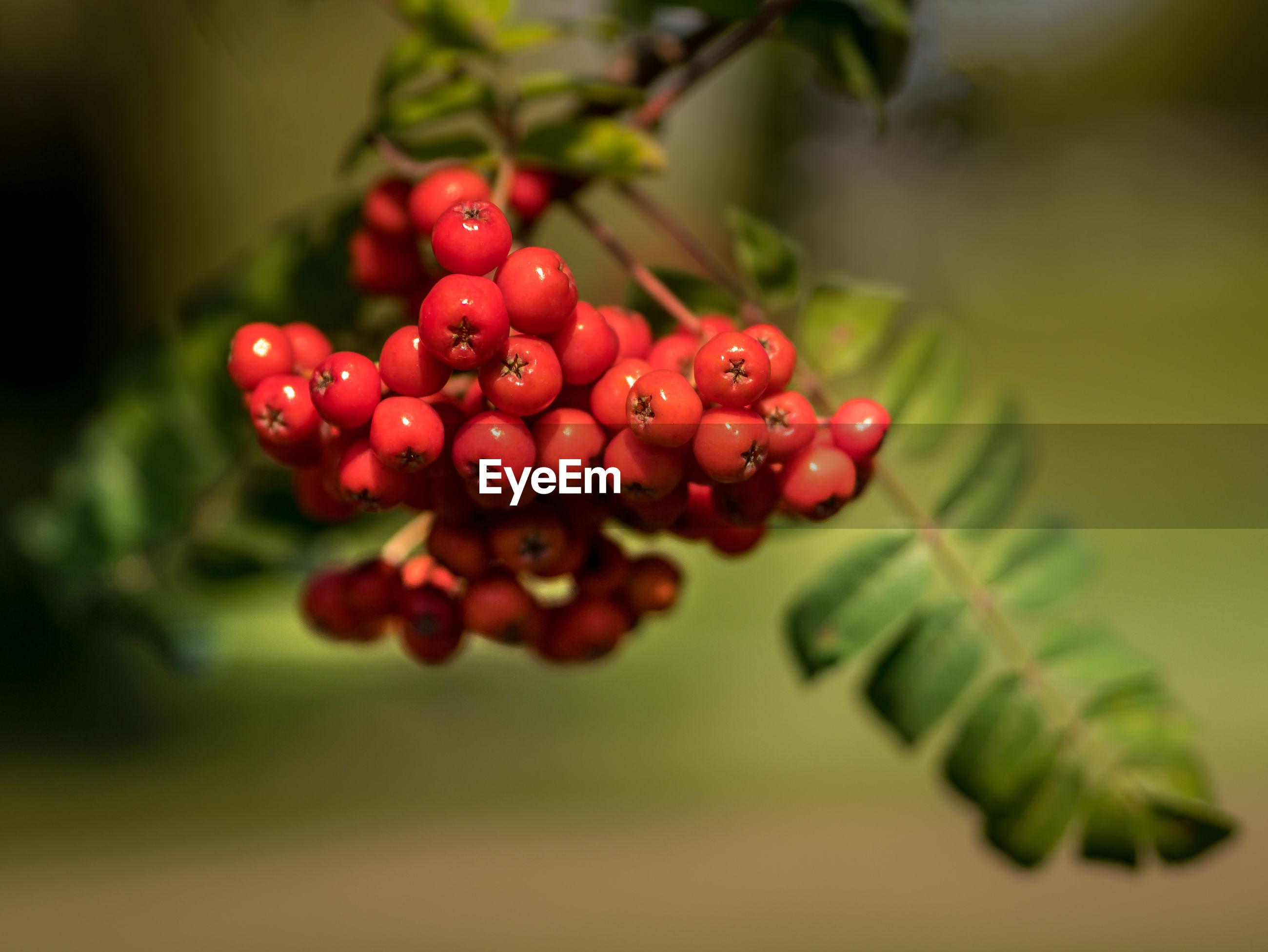 Close-up of bird berries growing on tree