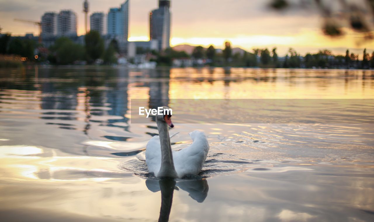 Swan swimming on lake against city during sunset