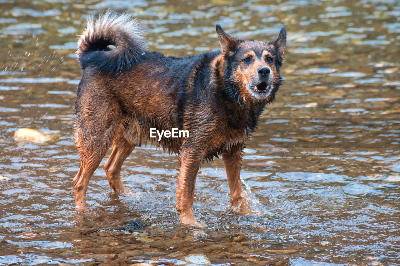 canine, dog, one animal, mammal, animal themes, animal, pets, domestic, domestic animals, water, vertebrate, day, no people, motion, nature, wet, running, standing, outdoors