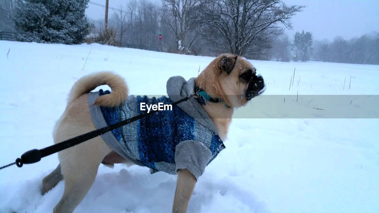 Pug On Snowcapped Field During Winter