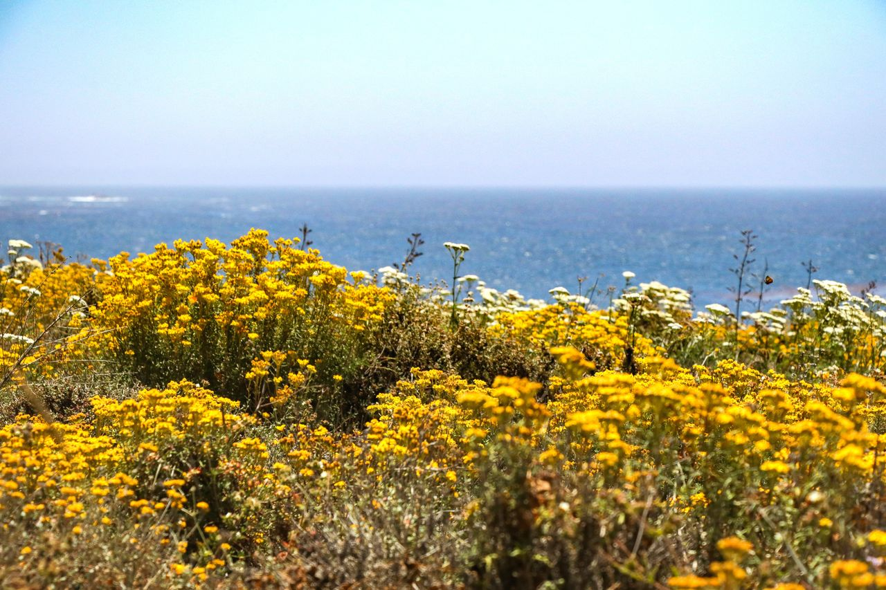 Yellow Flowering Plants By Sea Against Clear Sky