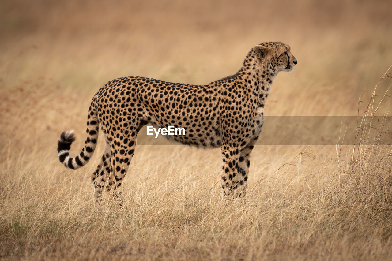 animal, animal themes, animals in the wild, animal wildlife, cheetah, big cat, one animal, feline, mammal, cat, spotted, no people, safari, grass, vertebrate, land, field, nature, plant
