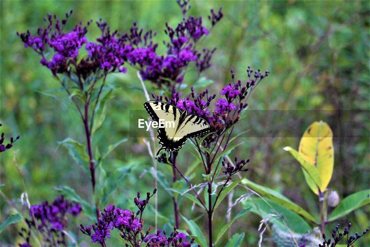 butterfly - insect, flower, animals in the wild, nature, growth, purple, animal themes, insect, fragility, one animal, plant, butterfly, beauty in nature, no people, focus on foreground, outdoors, freshness, day, animal wildlife, blooming, flower head, pollination, close-up, spread wings