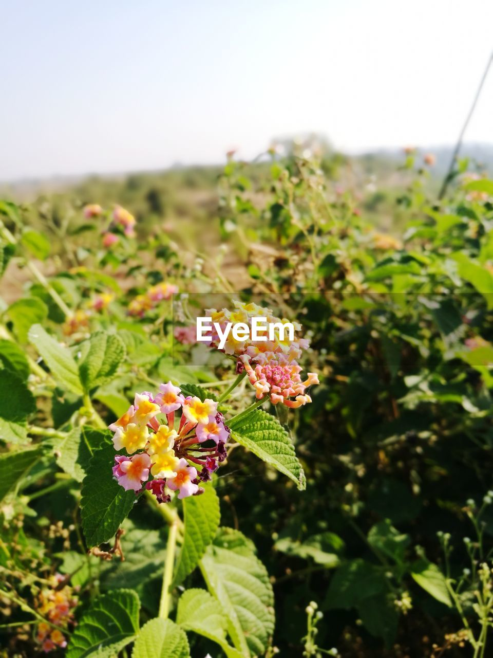 flower, beauty in nature, nature, growth, plant, freshness, fragility, green color, focus on foreground, day, no people, outdoors, petal, flower head, close-up, blooming, lantana camara