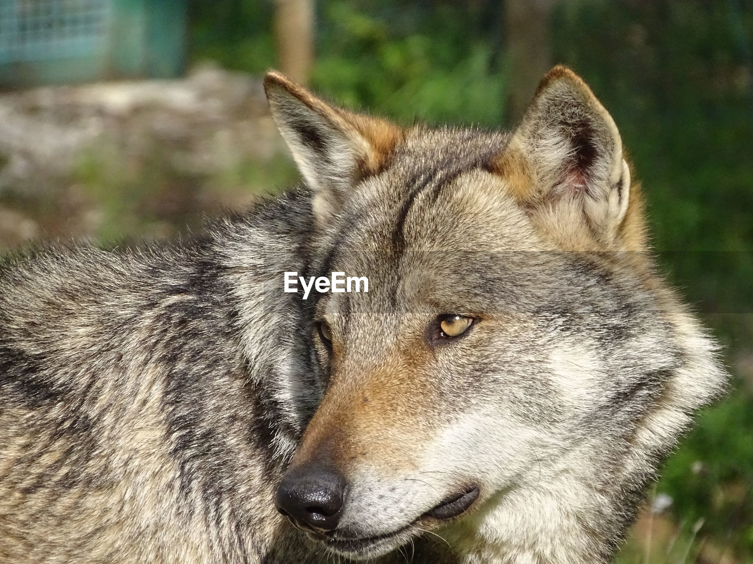 Close-up of wolf