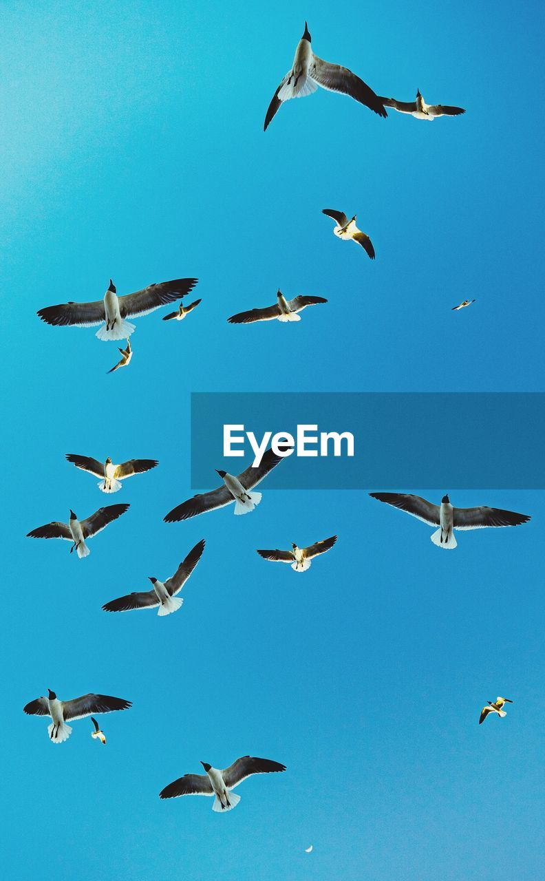 animals in the wild, group of animals, animal wildlife, animal, animal themes, vertebrate, large group of animals, flying, bird, no people, nature, spread wings, sky, blue, mid-air, clear sky, flock of birds, day, beauty in nature, low angle view, seagull