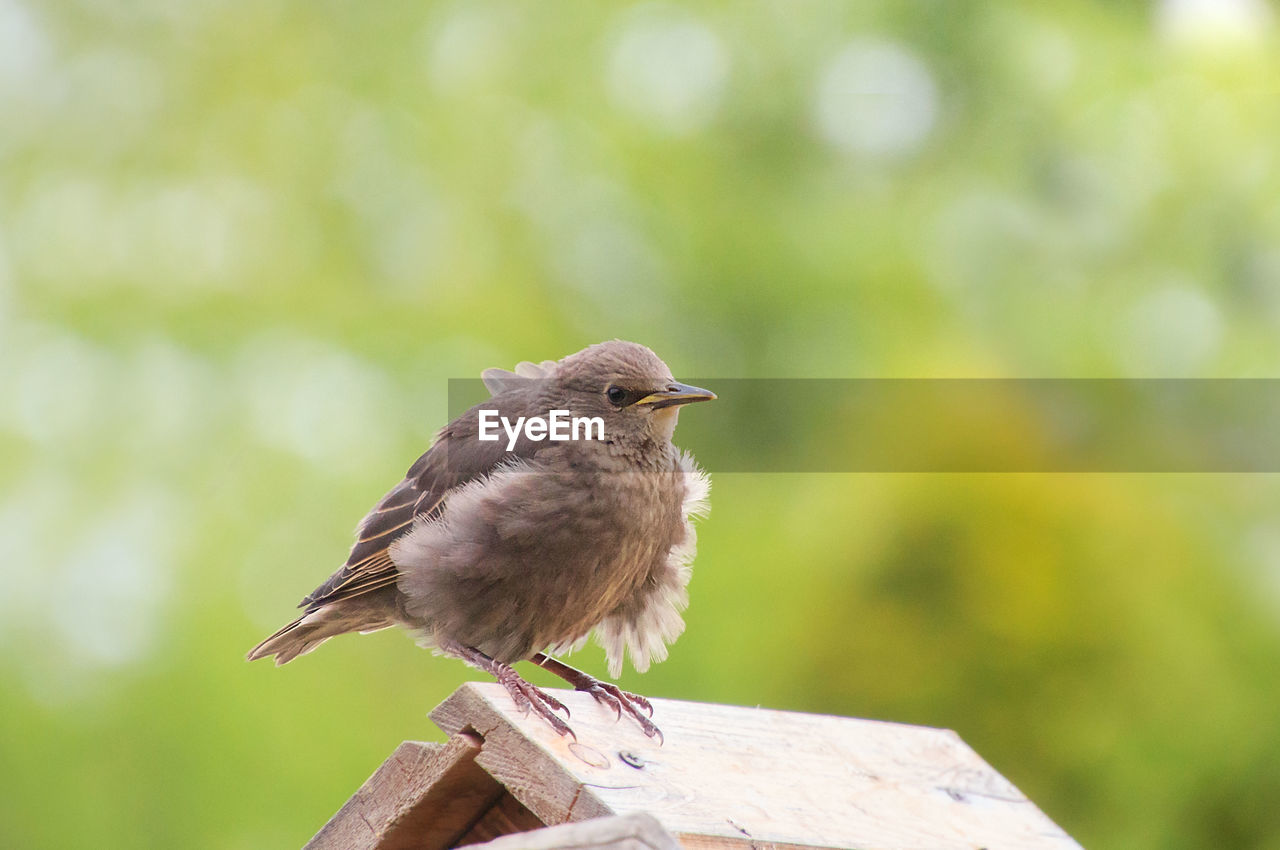 bird, vertebrate, animal wildlife, animals in the wild, animal, animal themes, perching, one animal, focus on foreground, no people, day, close-up, wood - material, nature, outdoors, zoology, tree, sparrow, railing, beak