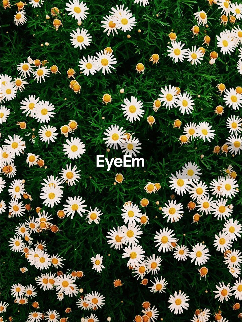 flower, petal, high angle view, fragility, flower head, freshness, blooming, no people, nature, backgrounds, growth, beauty in nature, day, plant, outdoors, close-up, black-eyed susan, osteospermum