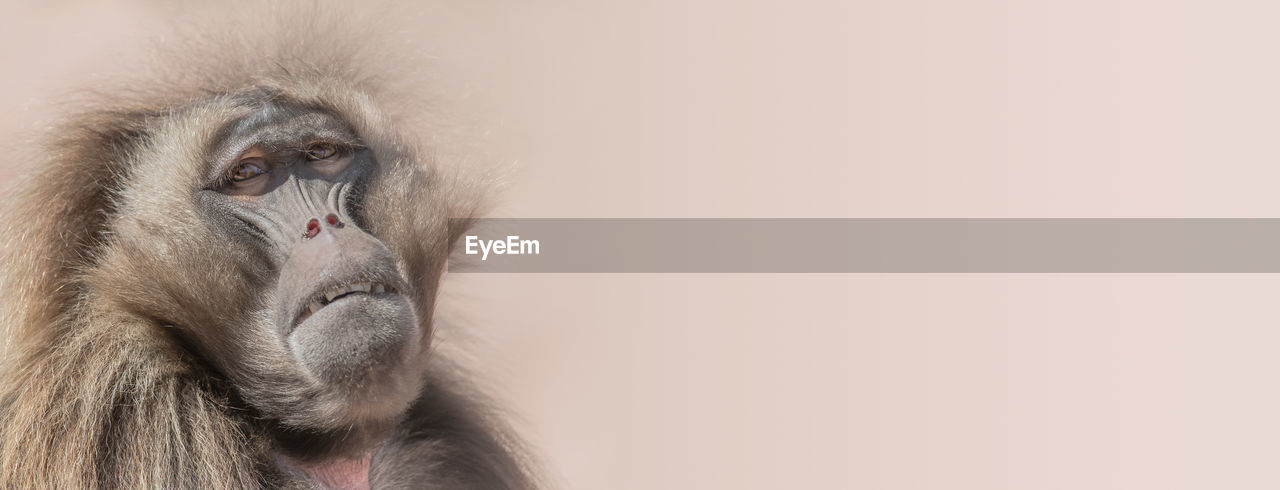 primate, mammal, animal wildlife, animals in the wild, one animal, copy space, vertebrate, no people, close-up, day, looking at camera, animal family, japanese macaque, animal body part, looking