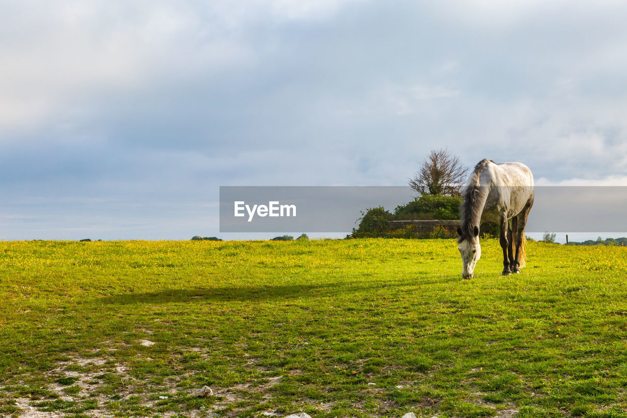 VIEW OF HORSE ON FIELD