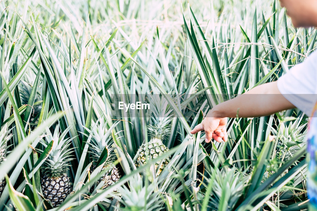 Cropped Image Of Man Pointing At Pineapples Growing On Field