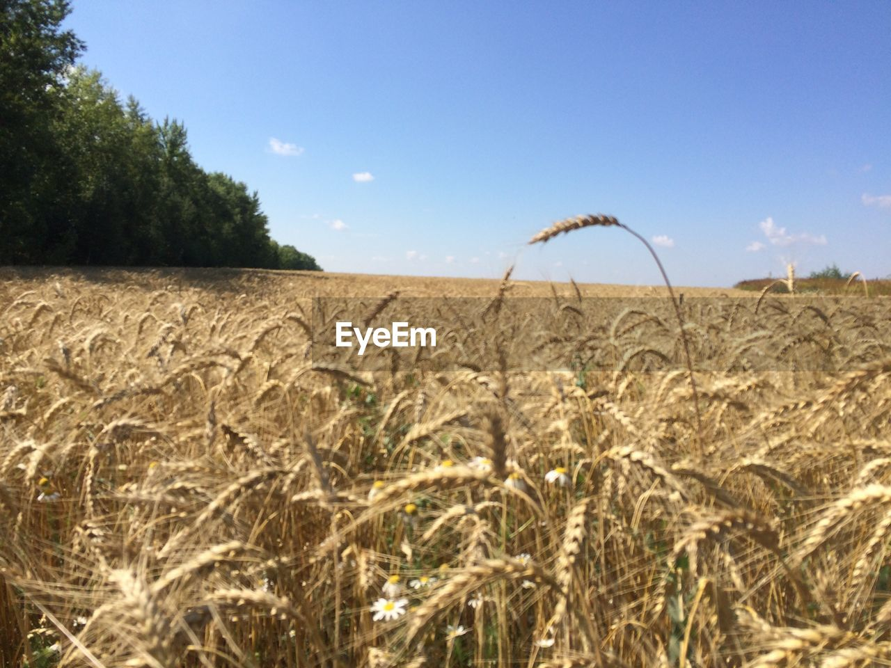 field, landscape, land, plant, sky, agriculture, growth, rural scene, crop, cereal plant, nature, tranquil scene, tranquility, beauty in nature, farm, day, scenics - nature, wheat, environment, no people, outdoors, plantation, stalk