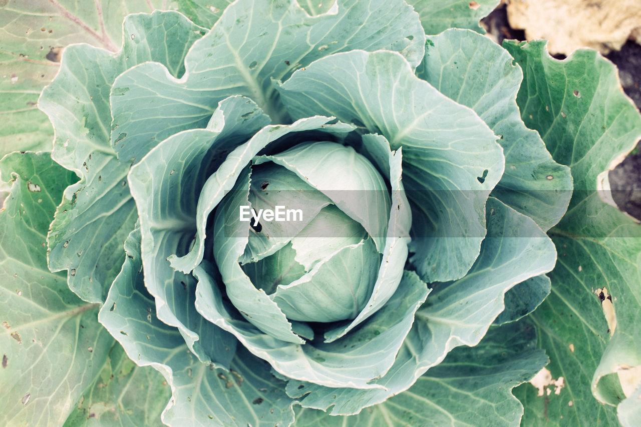 freshness, green color, growth, vegetable, leaf, plant part, healthy eating, food, close-up, food and drink, plant, beauty in nature, cabbage, no people, nature, flower, high angle view, petal, day, inflorescence, flower head, outdoors