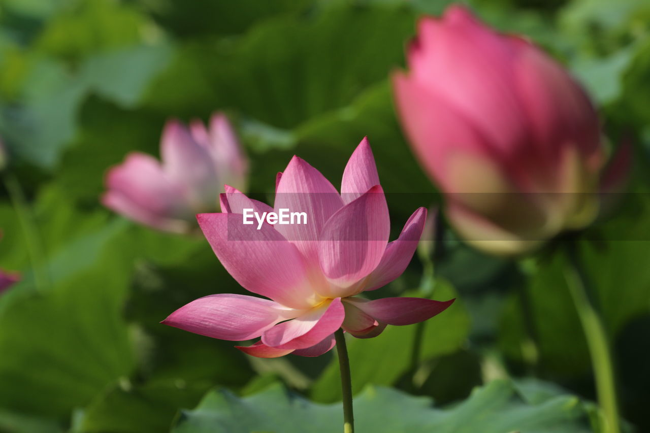 flowering plant, flower, beauty in nature, vulnerability, fragility, petal, freshness, plant, pink color, inflorescence, growth, close-up, flower head, water lily, leaf, nature, plant part, lotus water lily, day, lily, no people, pond, softness, purple