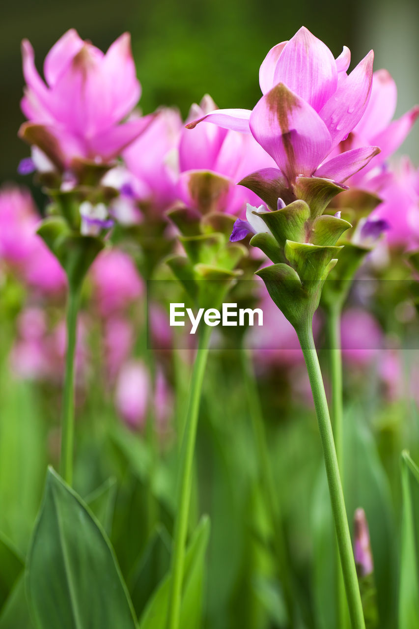 flowering plant, flower, beauty in nature, plant, fragility, vulnerability, freshness, growth, petal, close-up, selective focus, no people, flower head, inflorescence, pink color, nature, day, plant stem, purple, focus on foreground