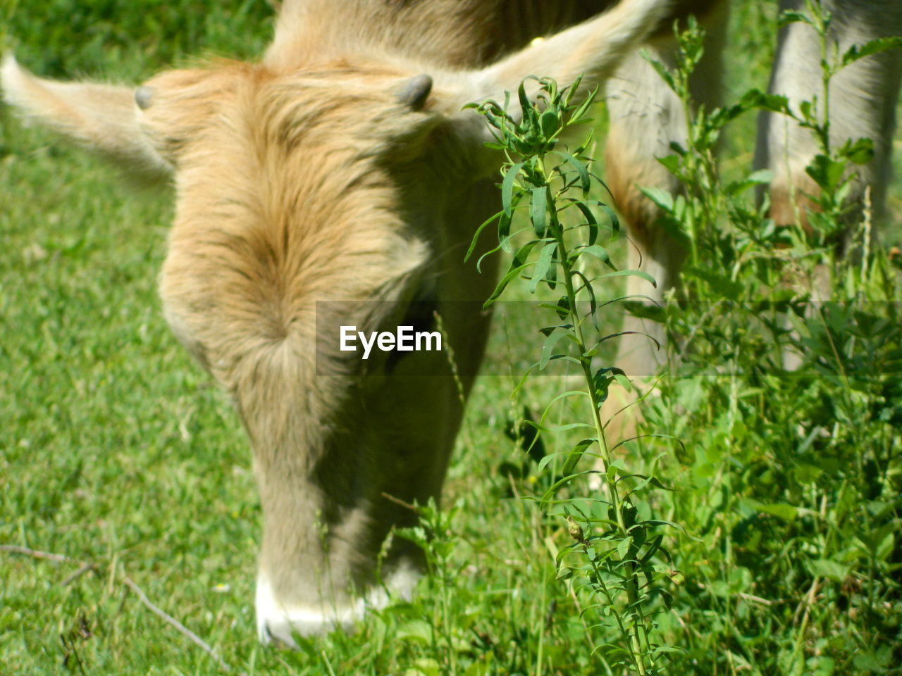 Close-up of cow grazing on grassy field