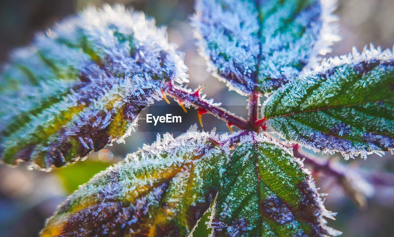 close-up, leaf, plant part, cold temperature, plant, beauty in nature, winter, nature, growth, no people, selective focus, day, focus on foreground, frozen, frost, green color, snow, ice, leaves, outdoors