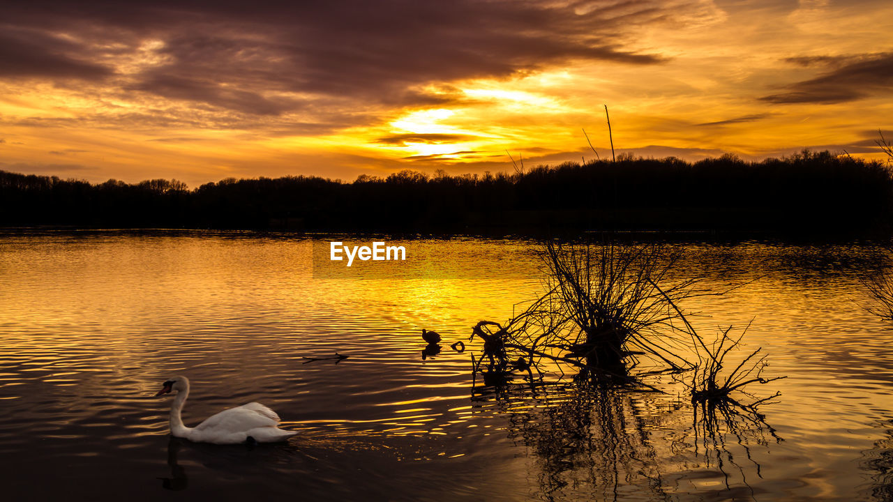 sunset, lake, water, nature, cloud - sky, reflection, animals in the wild, beauty in nature, animal themes, tree, sky, scenics, no people, bird, swan, swimming, animal wildlife, outdoors, tranquility, day