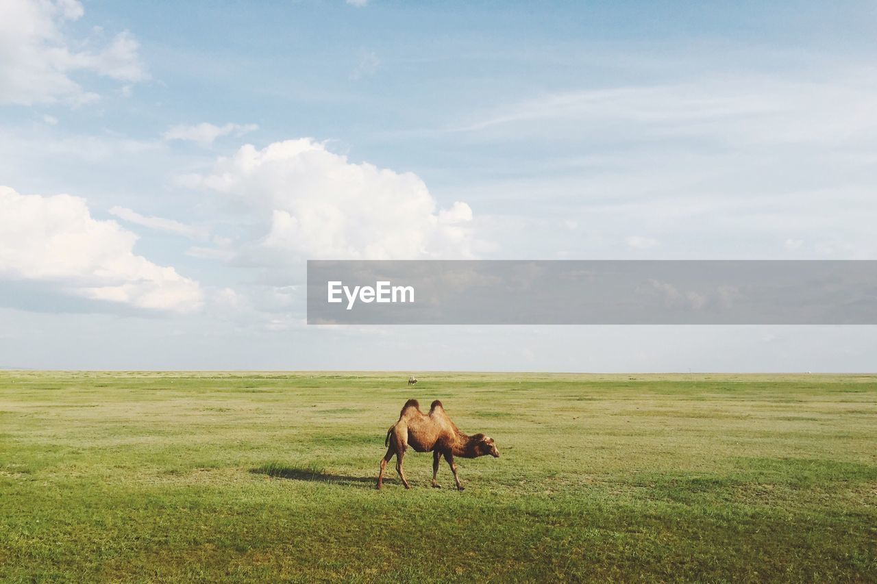 Scenic View Of Bactrian Camel On Prairie