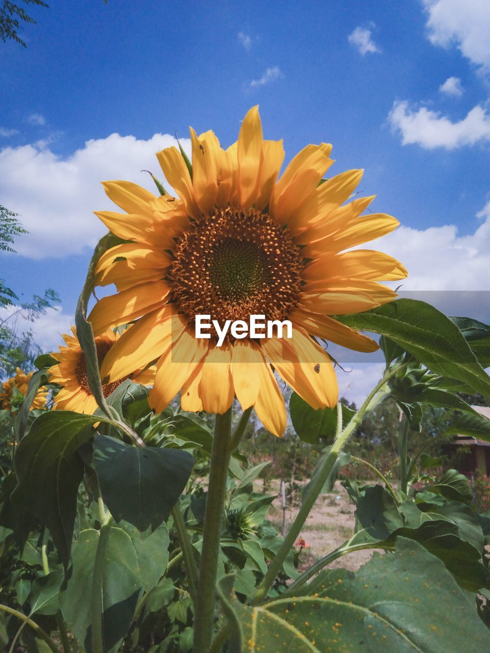 plant, flower, flowering plant, fragility, growth, freshness, petal, flower head, vulnerability, beauty in nature, inflorescence, sky, yellow, nature, plant part, leaf, close-up, pollen, sunflower, cloud - sky, no people, outdoors