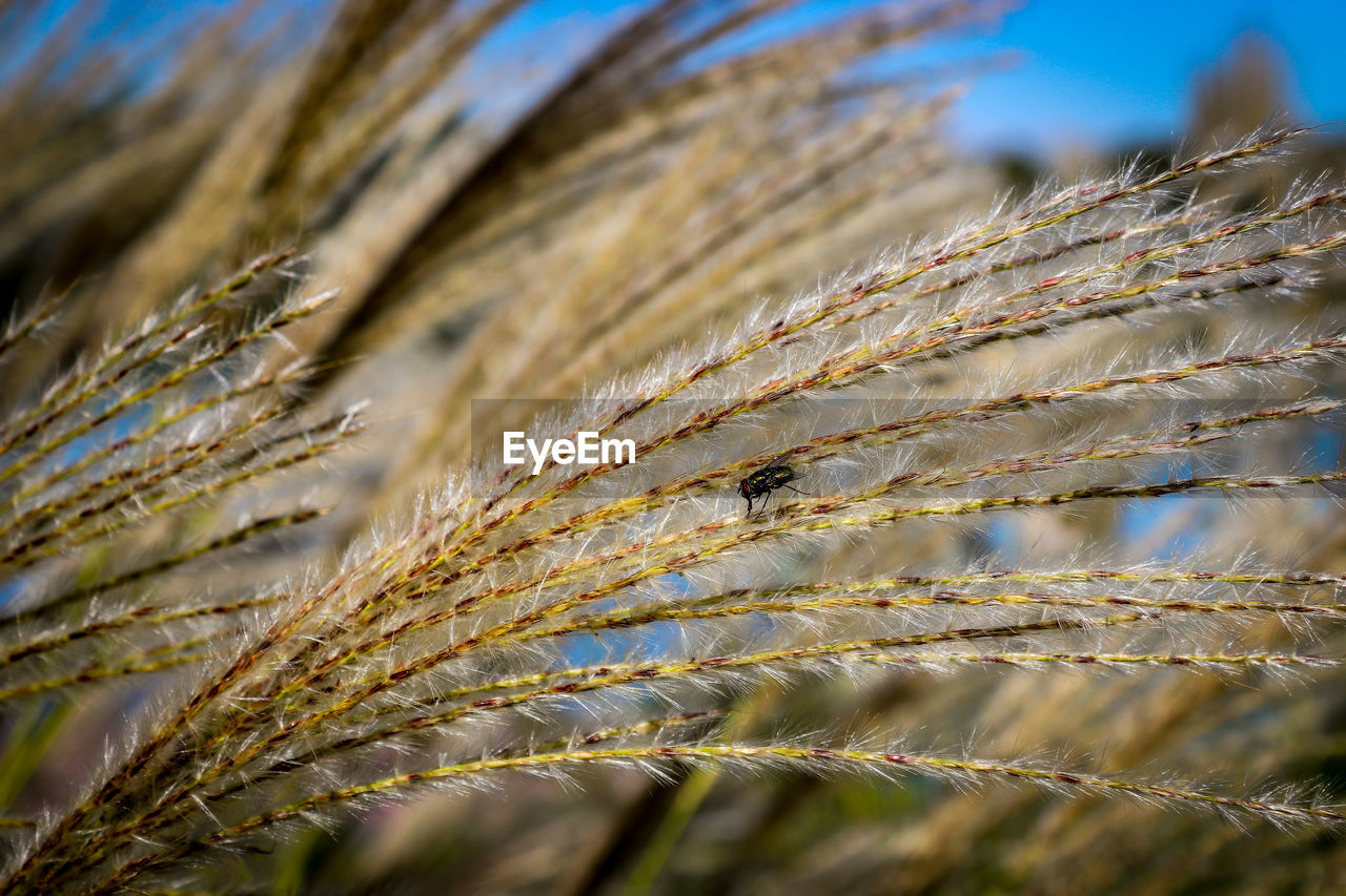 plant, close-up, nature, growth, no people, beauty in nature, day, selective focus, crop, outdoors, cereal plant, focus on foreground, sunlight, agriculture, sky, tranquility, land, field, pattern, grass