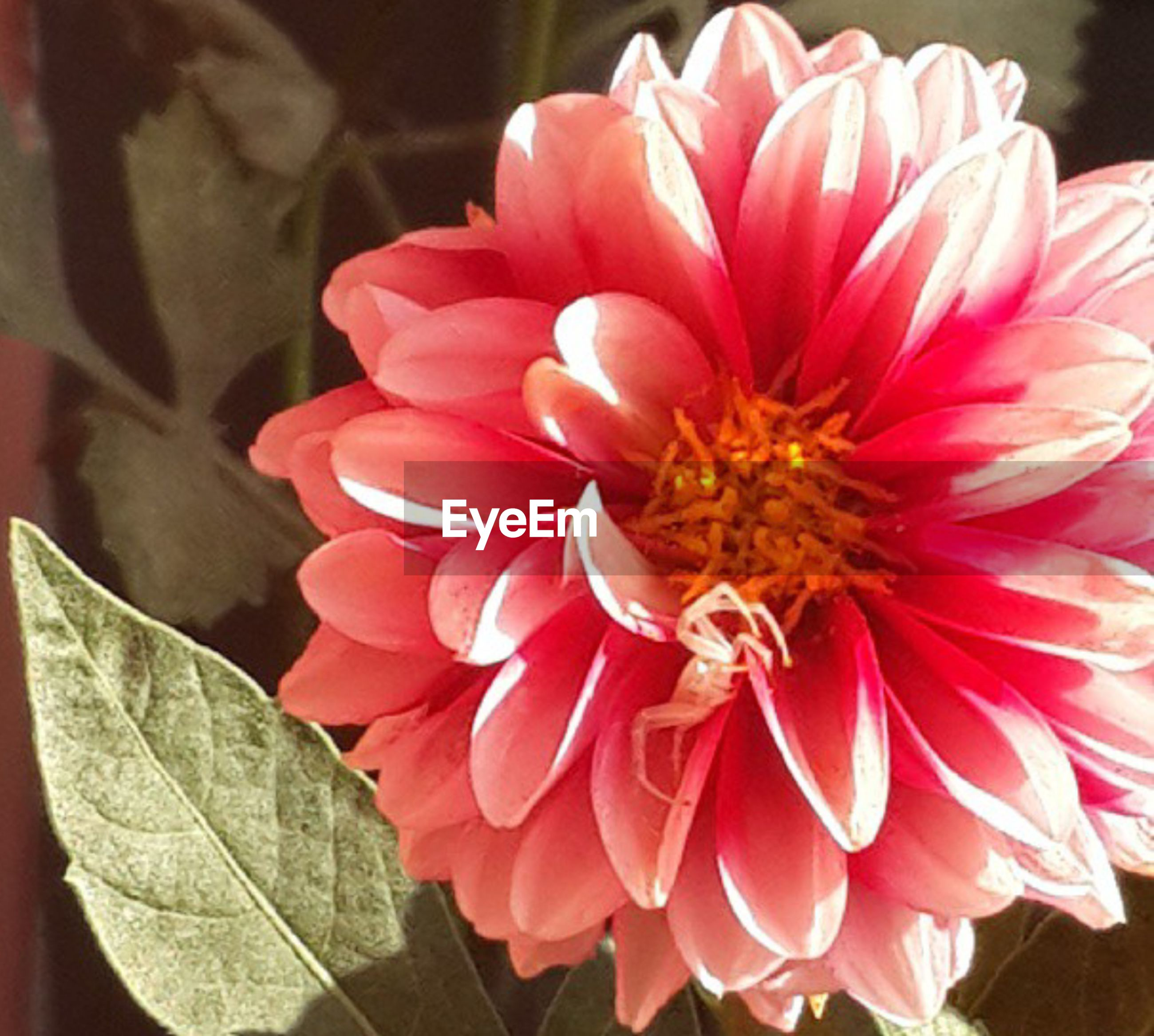 flower, petal, flower head, freshness, fragility, close-up, pink color, beauty in nature, focus on foreground, blooming, red, growth, nature, single flower, indoors, plant, pink, rose - flower, dahlia, day