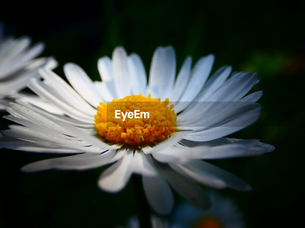 flower, flowering plant, vulnerability, fragility, freshness, petal, plant, beauty in nature, inflorescence, flower head, close-up, growth, pollen, nature, daisy, white color, no people, day, selective focus, outdoors, black background, focus