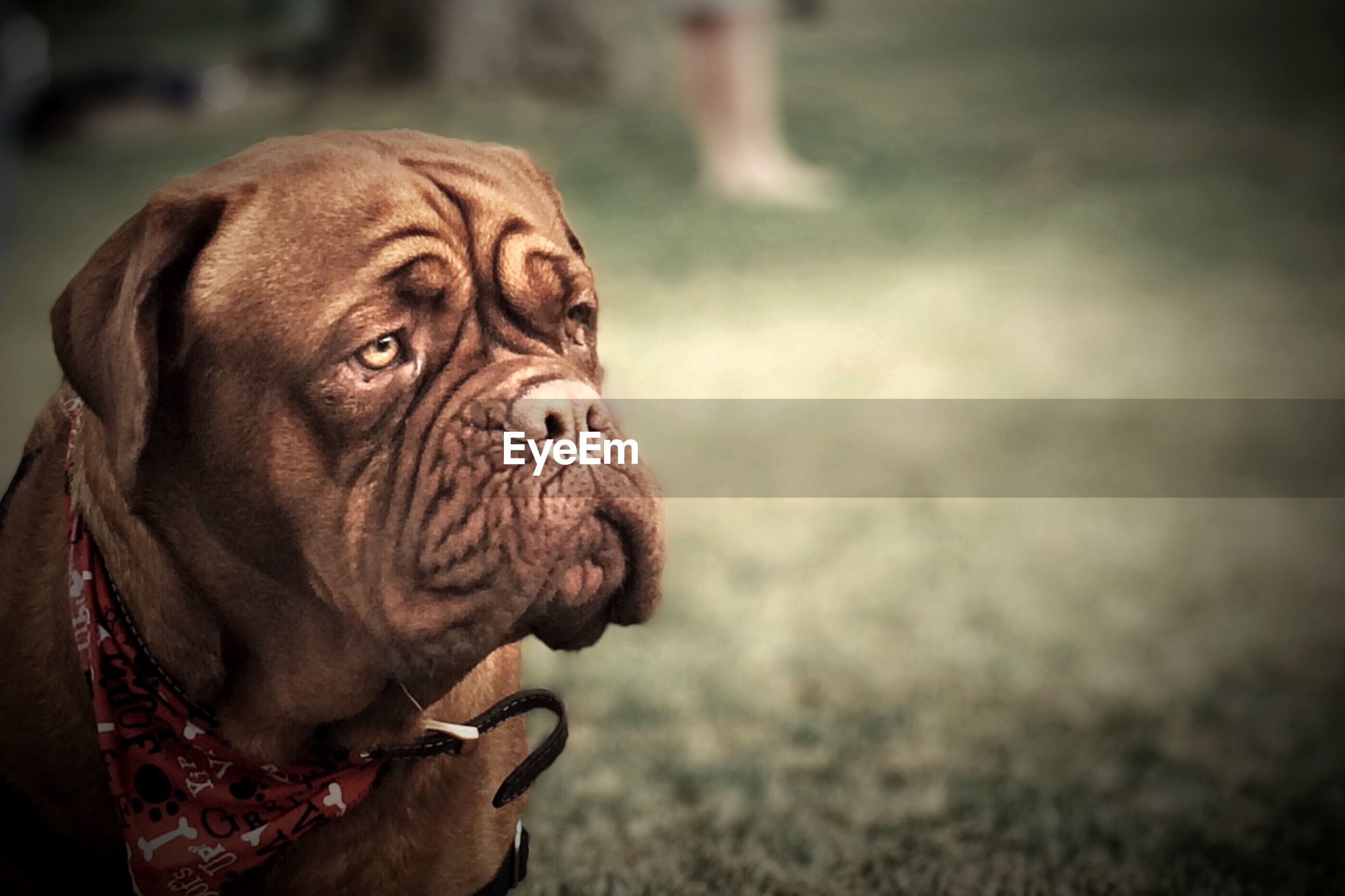 animal themes, one animal, mammal, dog, domestic animals, focus on foreground, close-up, animal head, portrait, pets, looking at camera, animal body part, day, no people, zoology, outdoors, selective focus, field, front view