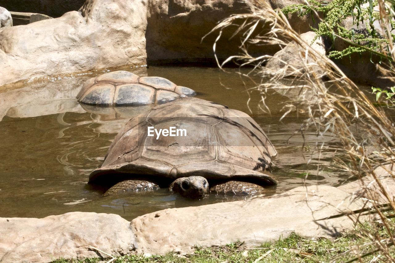 Tortoises in pond at zoo