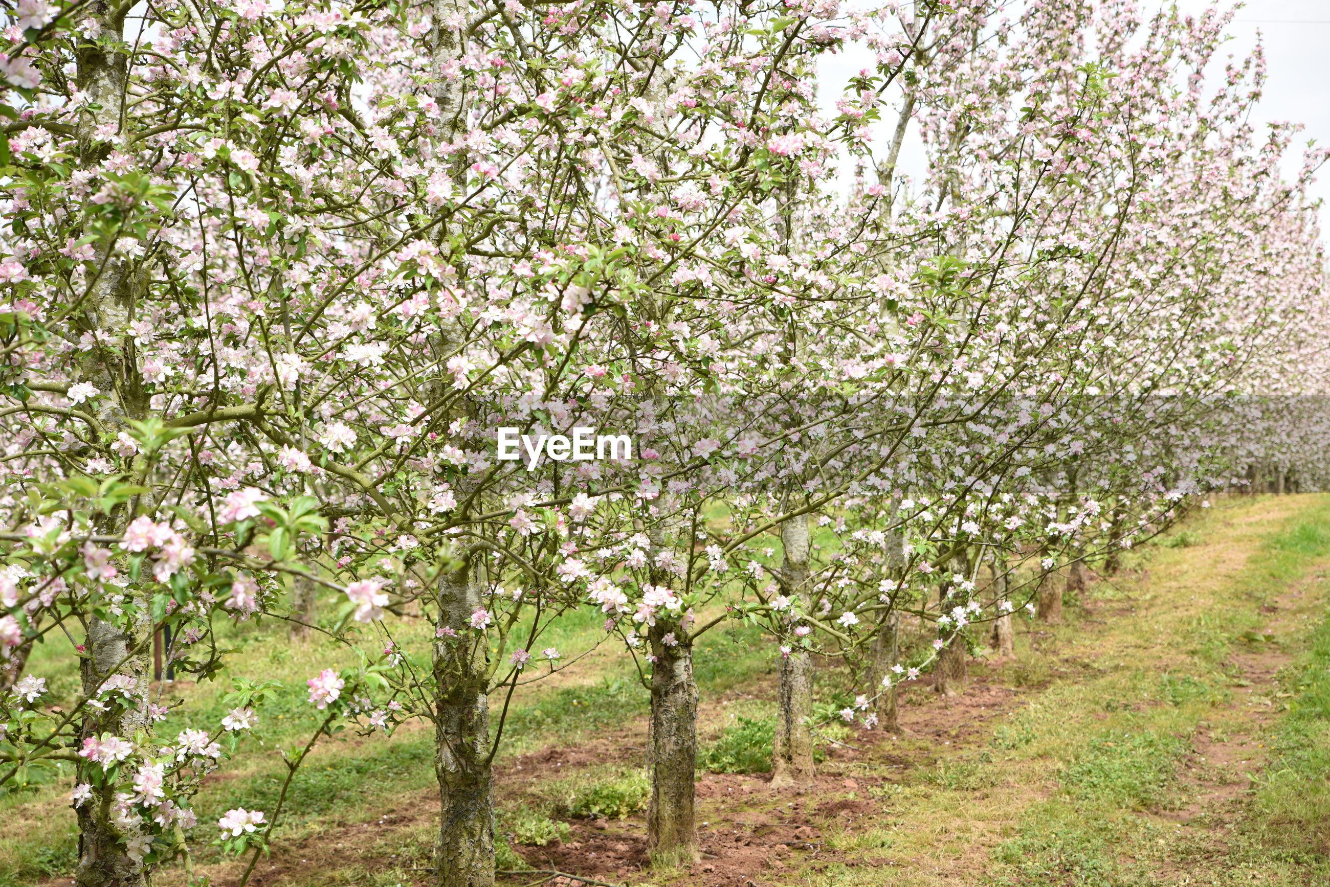 Fresh flower trees in field