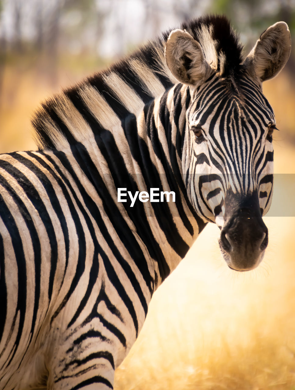 animal, animal themes, animal wildlife, striped, mammal, animals in the wild, zebra, one animal, animal markings, vertebrate, focus on foreground, day, no people, close-up, nature, safari, natural pattern, outdoors, animal head, herbivorous