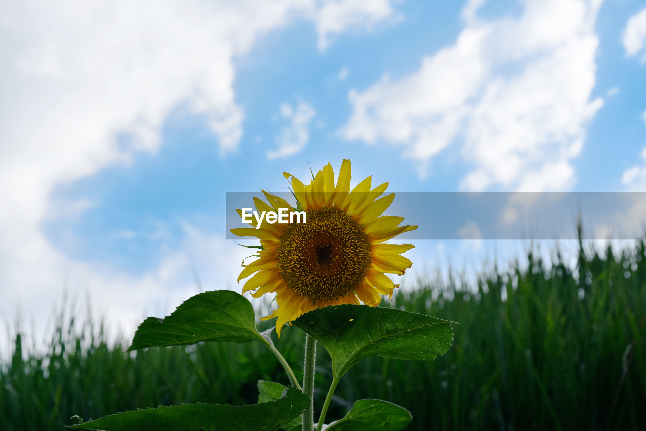 CLOSE-UP OF SUNFLOWER AGAINST CLOUDY SKY