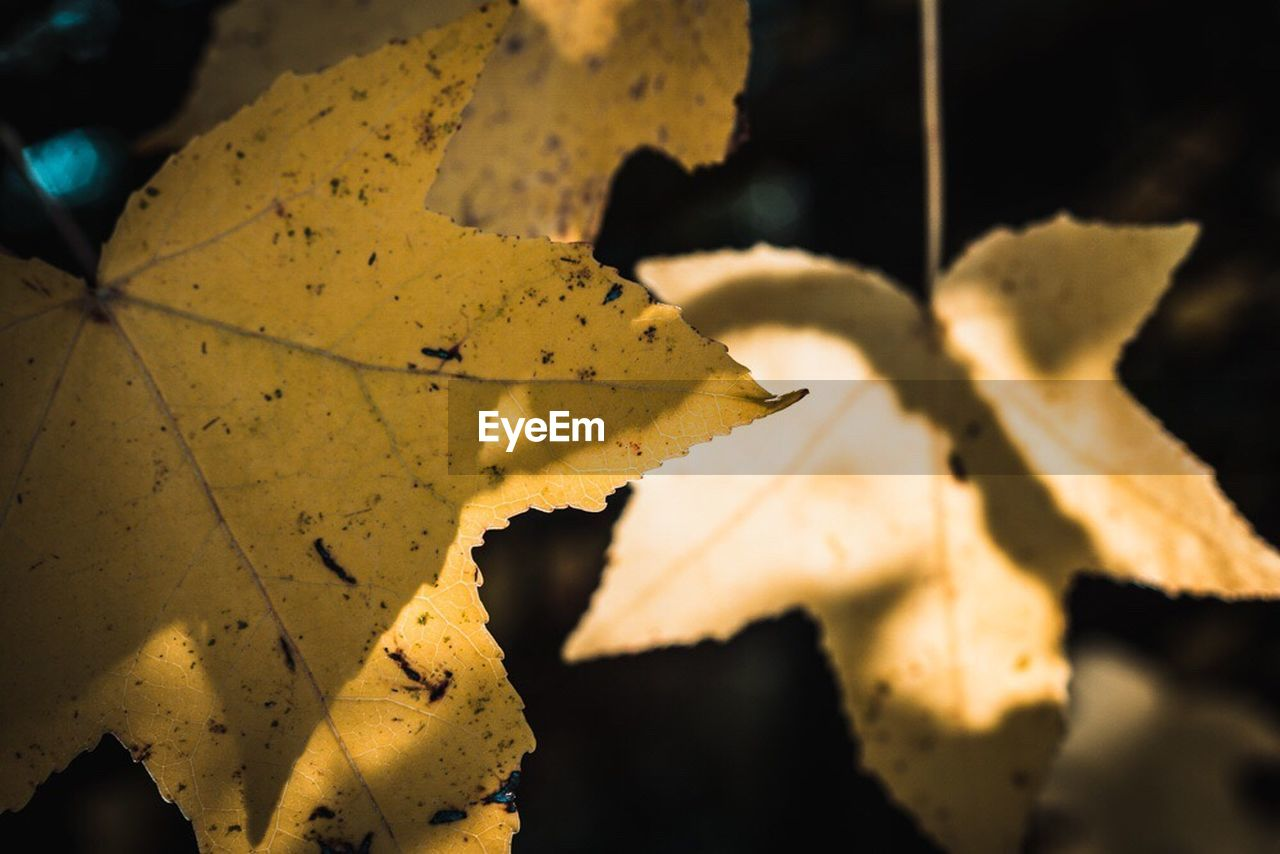 leaf, autumn, change, maple, close-up, nature, maple leaf, day, outdoors, focus on foreground, no people, beauty in nature, fragility, water