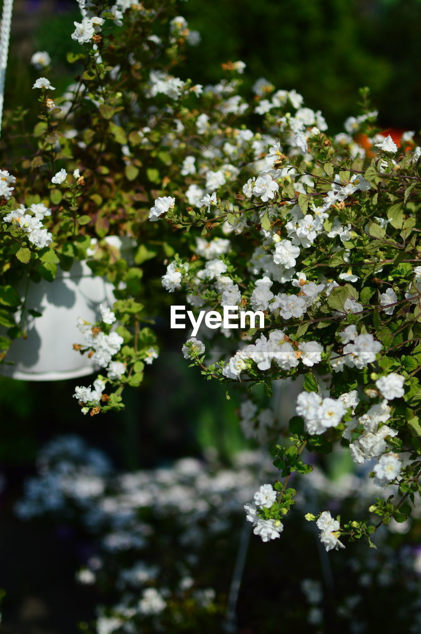 flowering plant, flower, plant, growth, beauty in nature, freshness, fragility, vulnerability, day, white color, nature, no people, selective focus, focus on foreground, close-up, outdoors, tranquility, park, park - man made space, tree, flower head