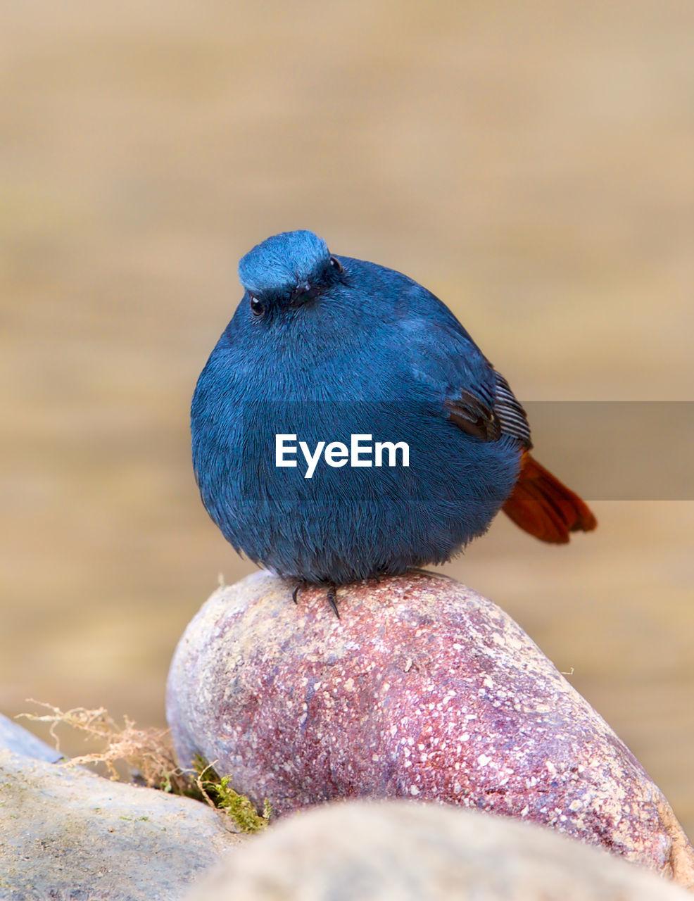 Close-Up Of Blue Bird Perching On Rock