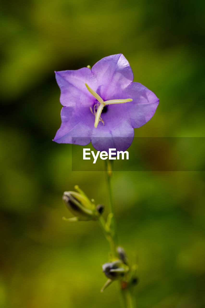 flower, nature, growth, beauty in nature, fragility, petal, purple, plant, no people, freshness, flower head, outdoors, day, blooming, close-up