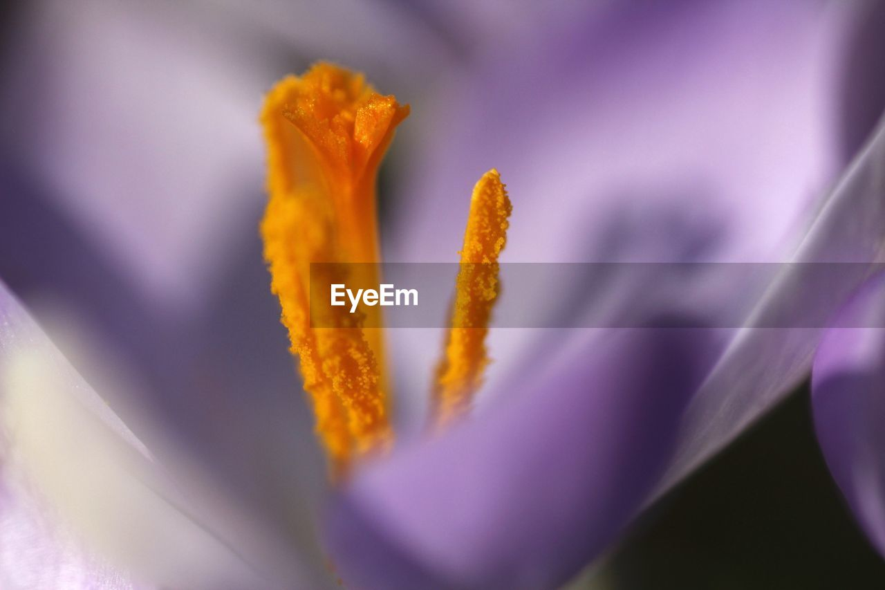 flower, fragility, petal, growth, beauty in nature, freshness, nature, flower head, selective focus, plant, purple, close-up, no people, blooming, outdoors, springtime, day, crocus