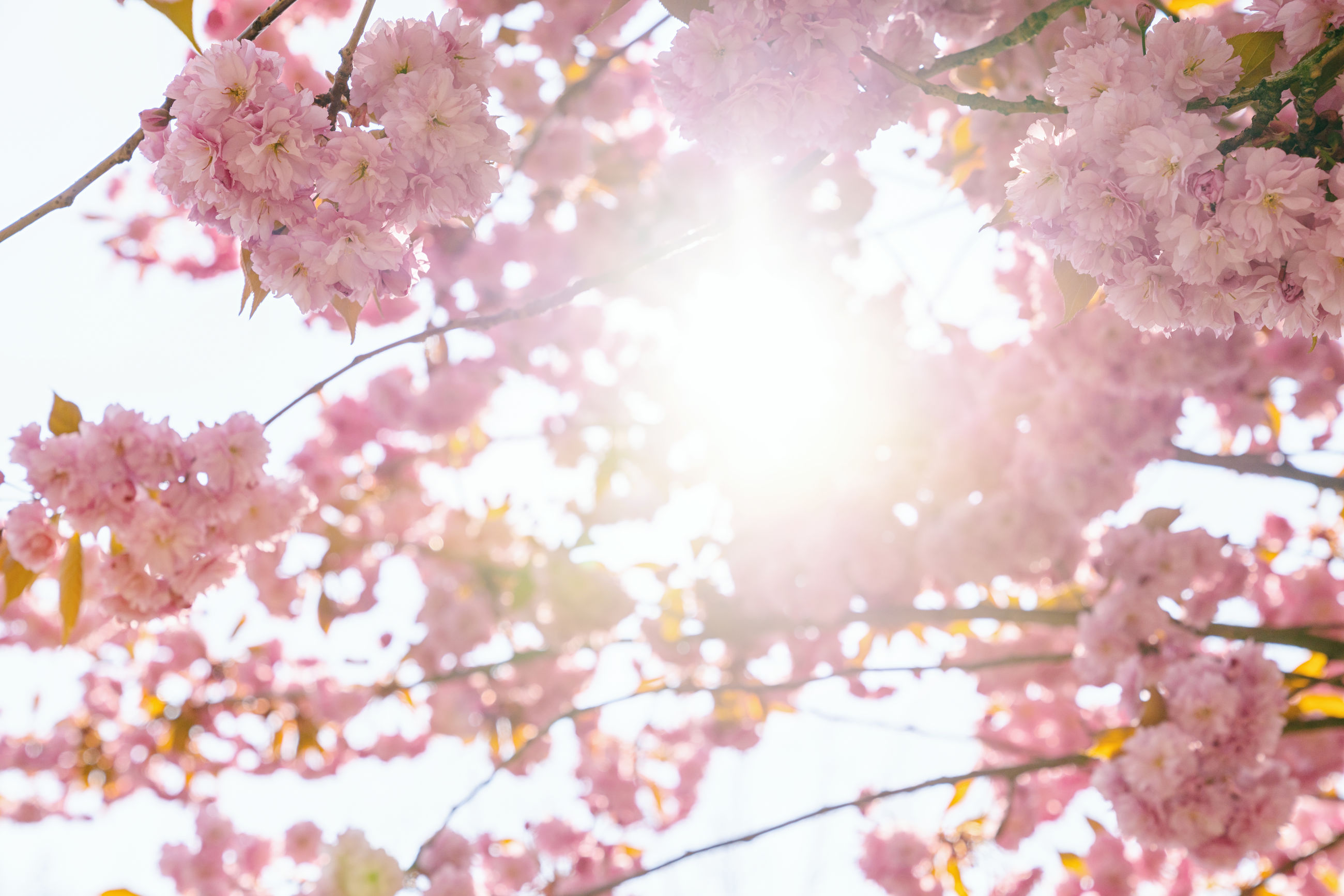 LOW ANGLE VIEW OF PINK CHERRY BLOSSOMS IN SUNLIGHT