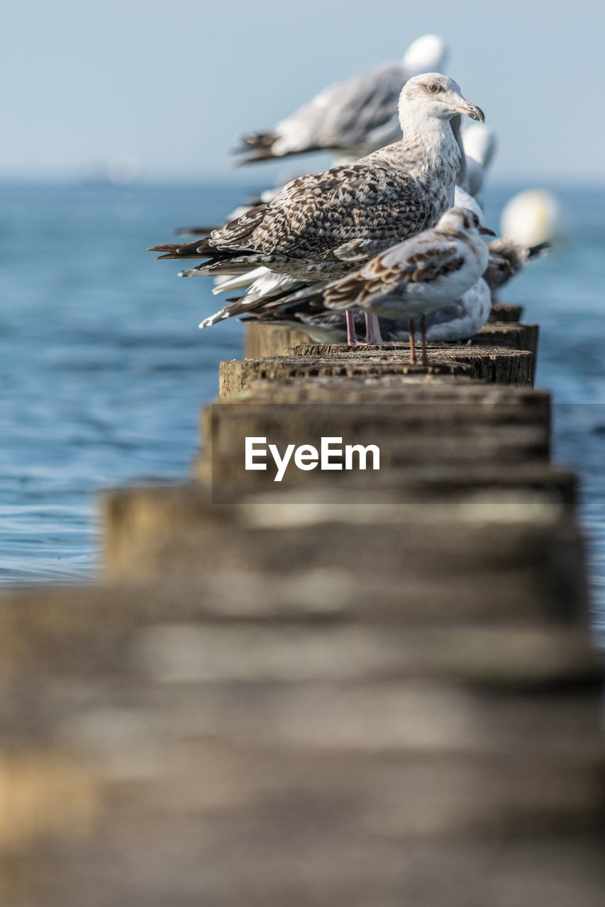 bird, animal, animal themes, animal wildlife, animals in the wild, vertebrate, perching, selective focus, wood - material, group of animals, sea, water, day, no people, nature, seagull, outdoors, two animals, wooden post