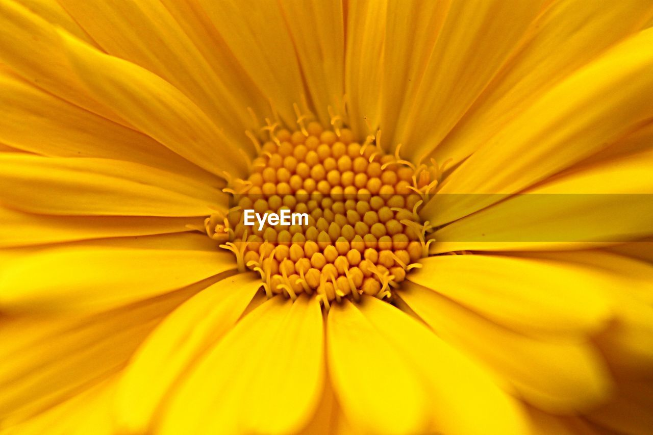 yellow, flowering plant, flower, freshness, petal, flower head, inflorescence, close-up, growth, vulnerability, fragility, plant, pollen, beauty in nature, nature, no people, full frame, day, backgrounds, outdoors