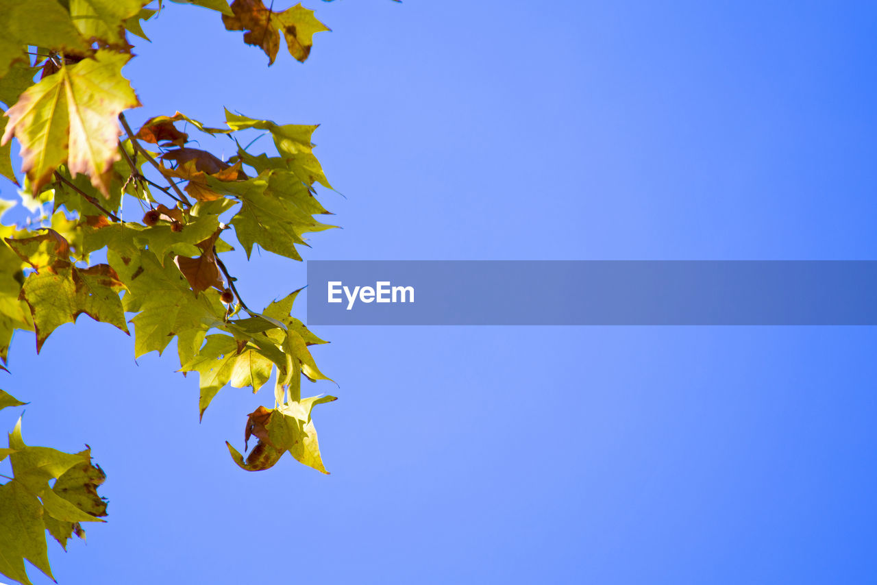 plant part, sky, leaf, blue, low angle view, copy space, no people, clear sky, growth, nature, plant, beauty in nature, autumn, yellow, change, tree, day, branch, maple tree, maple leaf, outdoors, leaves, natural condition