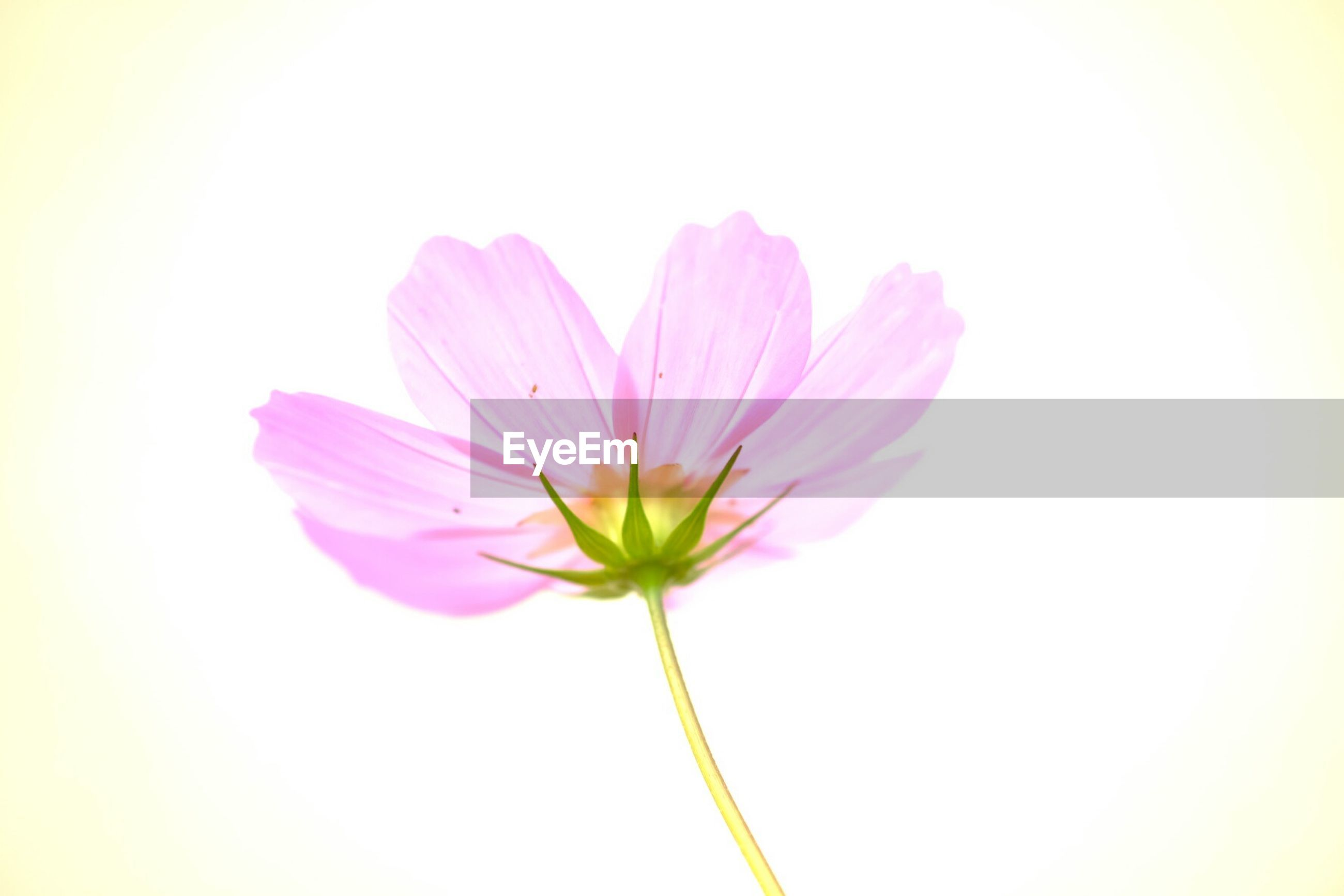 flower, petal, fragility, freshness, flower head, beauty in nature, stem, pink color, close-up, single flower, nature, growth, copy space, focus on foreground, blooming, plant, bud, no people, pink, in bloom