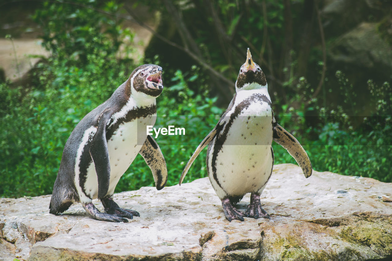 Close-up of penguins