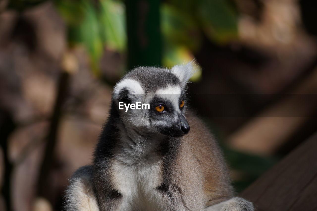Close-Up Of Lemur At Zoo