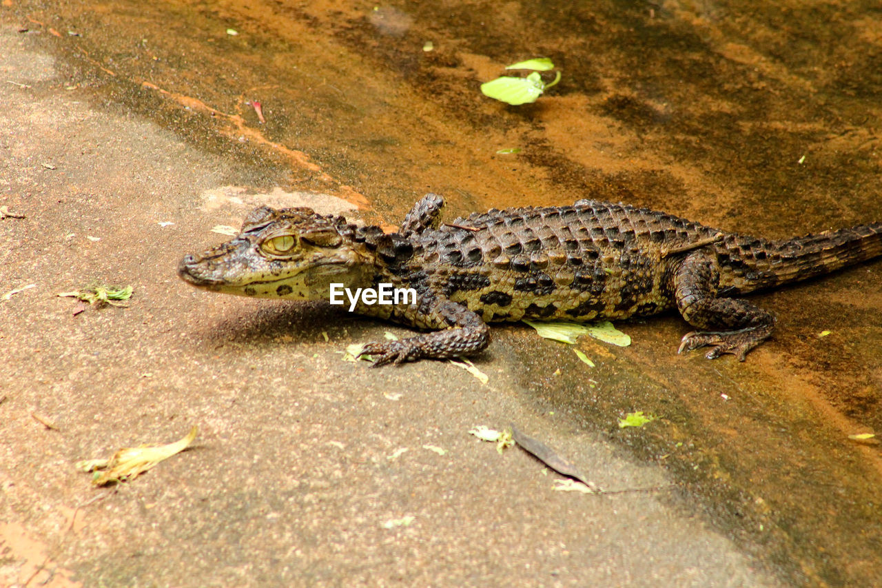 HIGH ANGLE VIEW OF CROCODILE