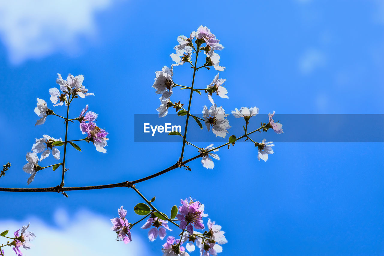 LOW ANGLE VIEW OF PINK CHERRY BLOSSOMS AGAINST BLUE SKY