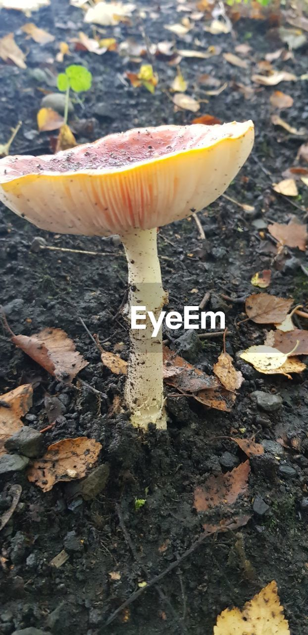 food, mushroom, fungus, food and drink, vegetable, land, toadstool, growth, no people, nature, field, close-up, edible mushroom, day, fly agaric mushroom, plant, leaf, freshness, plant part, fragility, outdoors, change, surface level