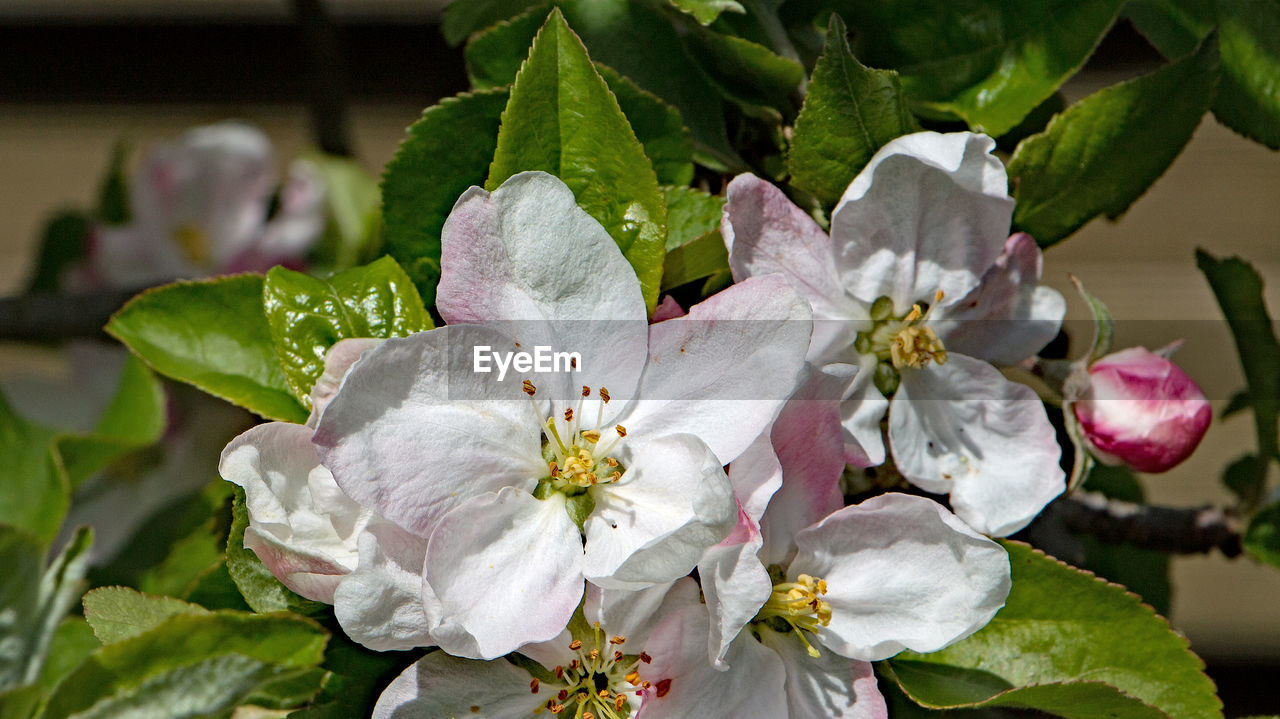 flower, fragility, beauty in nature, growth, petal, nature, leaf, flower head, white color, freshness, blossom, no people, plant, close-up, springtime, blooming, day, outdoors