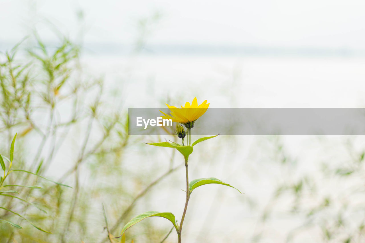 plant, flower, flowering plant, freshness, fragility, vulnerability, growth, beauty in nature, nature, focus on foreground, yellow, close-up, plant stem, day, flower head, petal, no people, inflorescence, land, outdoors, springtime