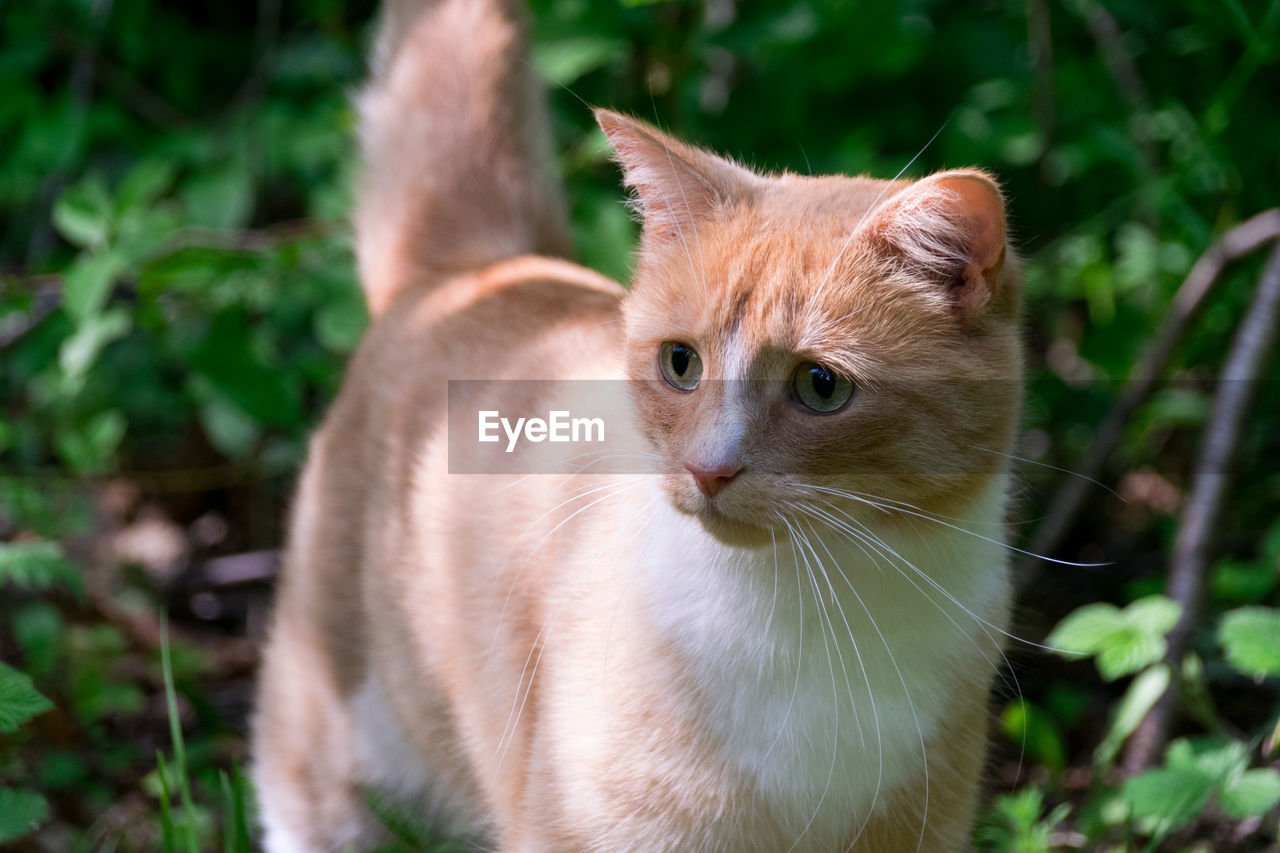 domestic cat, feline, mammal, animal themes, domestic animals, one animal, pets, whisker, cat, focus on foreground, plant, no people, portrait, looking at camera, day, outdoors, ginger cat, close-up, nature
